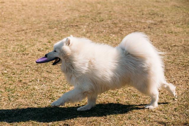 White Samoyed Dog Play Run Outdoor