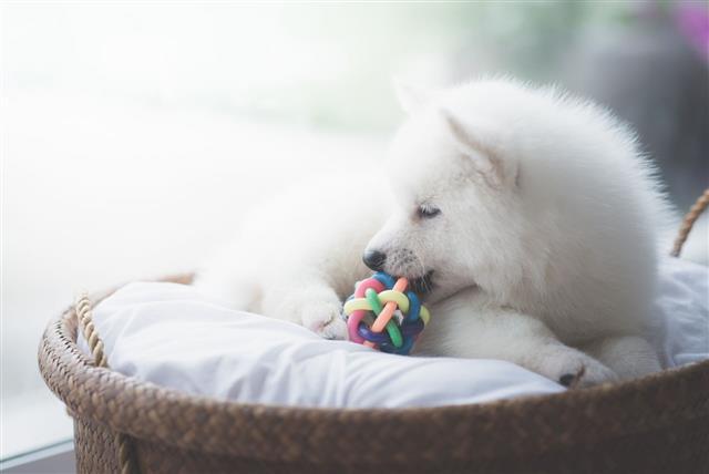 White Siberian Husky Puppy Lying