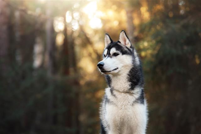 Dog Siberian Husky In The Woods