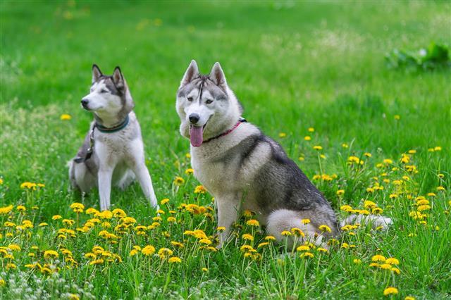 Siberian Husky And Dandelions Flowers