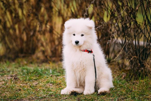 White Samoyed Puppy In Park