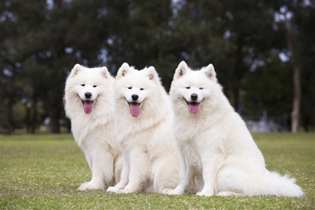 Samoyed Dogs Sitting