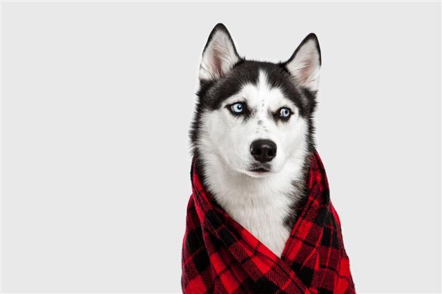 Siberian Husky Wearing A Scarf