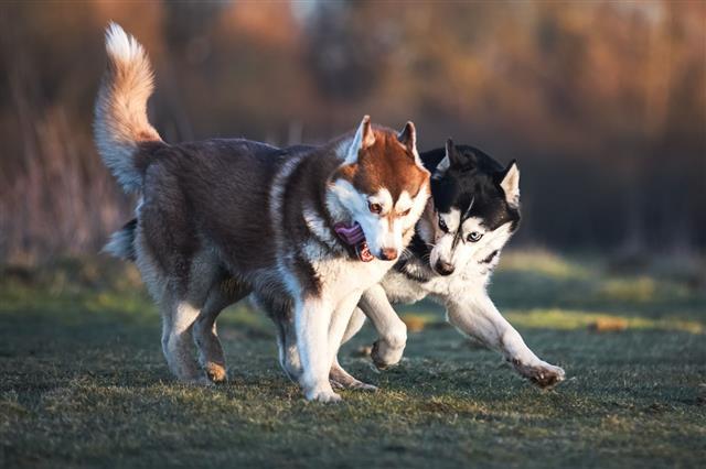 Siberian Husky Plays On Spring Meadow