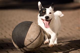 Little Dog Play Basket Ball