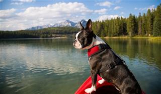 Boston Terrier In Kayak On Lake