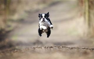 Boston Terrier Dog Running And Flying