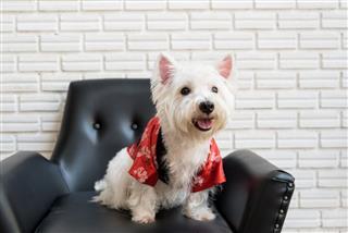 White Terrier Westie Highland Dog