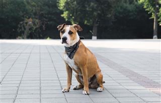 Dog In Bandana Sitting Outdoors