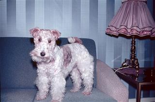 Fox Terrier On Sofa