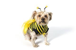 Yorkie Bee