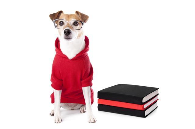Jack Russell Terrier In Hoodie