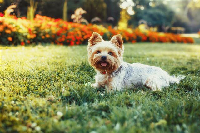 Yorkshire Terrier Dog On Green Grass