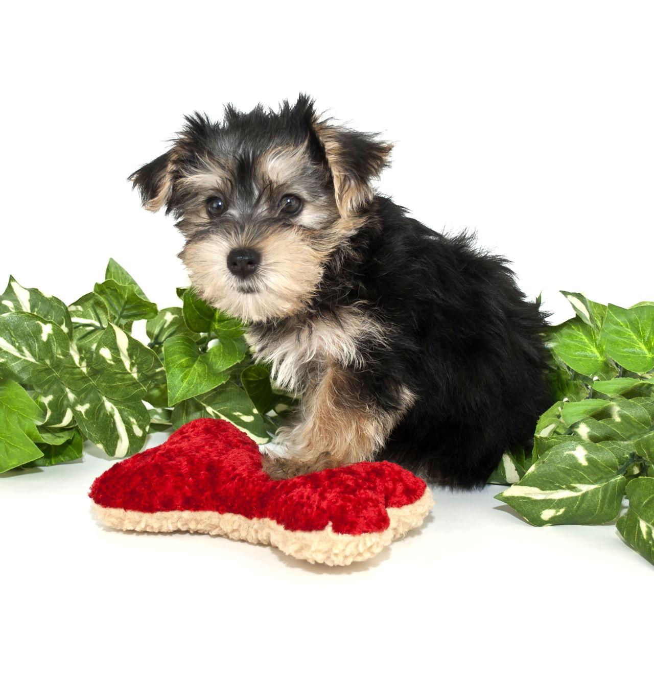 Buy Morkie Puppies In Northwest Territories Canada