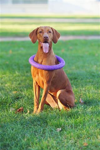 Hungarian Vizsla Dog Sitting Outdoors