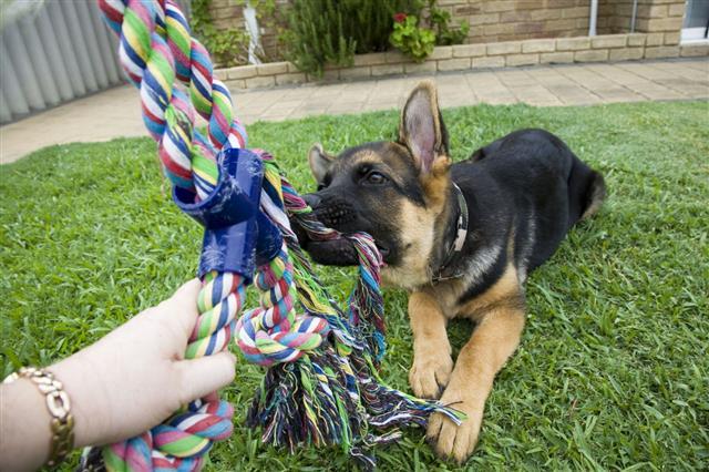 Tug O War Puppy