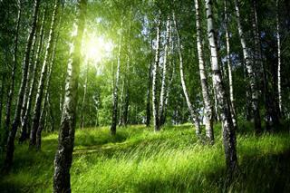 Morning In Birch Forest
