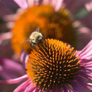 Honeybee On Pollen
