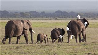 Elephants With Birds On Their Back