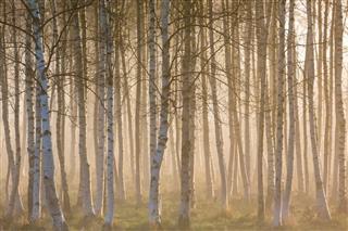 Misty Morning In Birch Forest