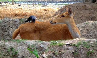 Crow Sitting On A Deer