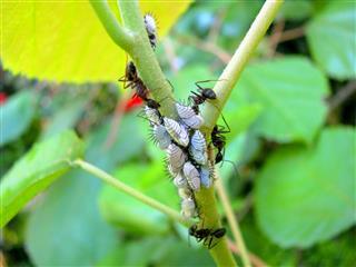Ants On Stem