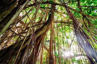 Large Liana Jungle Vegetation Tropical Rainforest