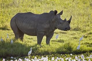 Symbiotic Rhinoceros