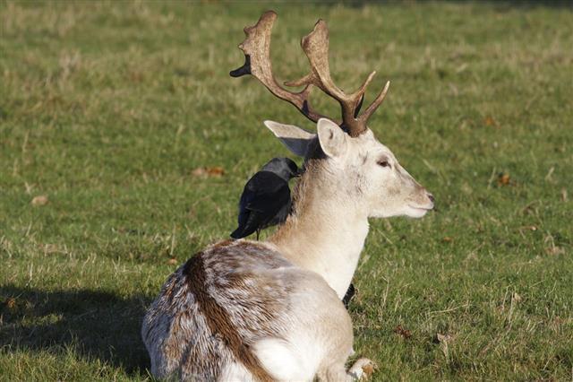 Jackdaw On Back Of Deer