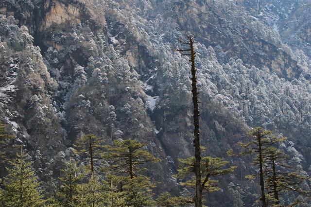 Sikkim Himalayas Abies Densa Trees