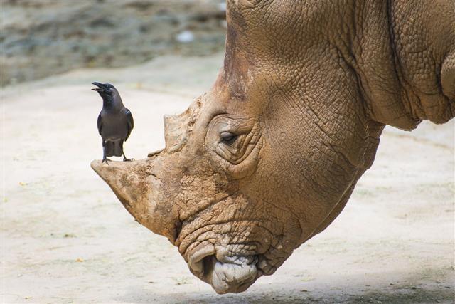 White Rhinoceros In Wildlife