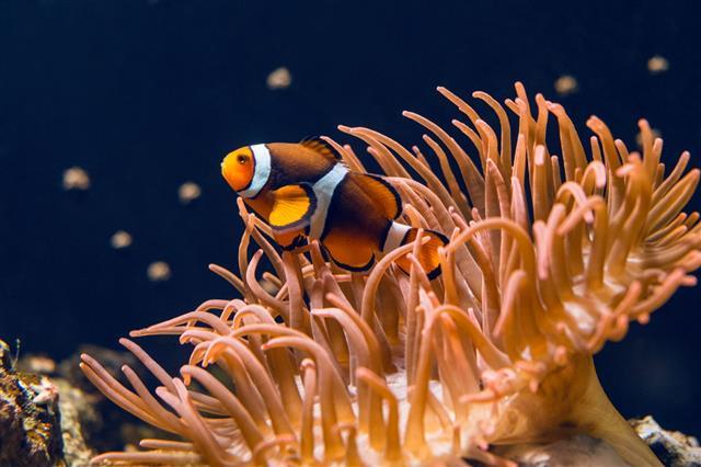 Clownfish Swimming