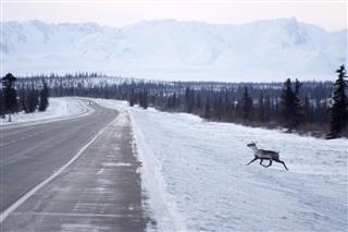 Wild Reindeer Caribou