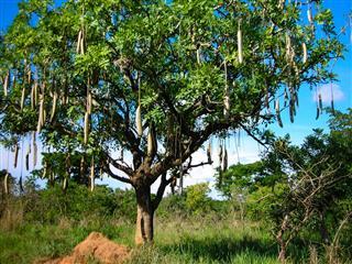Sausage Tree In Murchison Falls Park Uganda