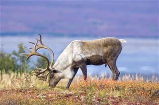 Caribou On Fall Tundra