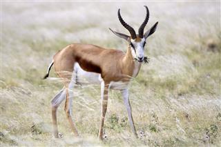 Springbok Eats Flowers