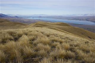 Golden Tussock Grassland Above Lake Tekapo