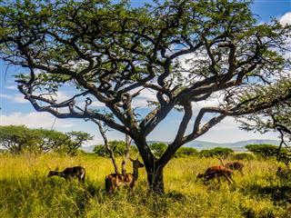 Four Wild African Antelope Deer