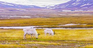 Reindeers Eating Grass