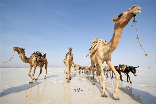 Salt Caravans Danakil Desert Ethiopia