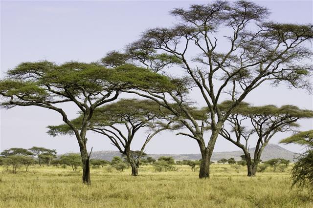 Acacia Trees On The Serengeti