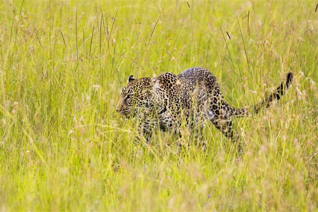 Leopard In The Savannah Walking