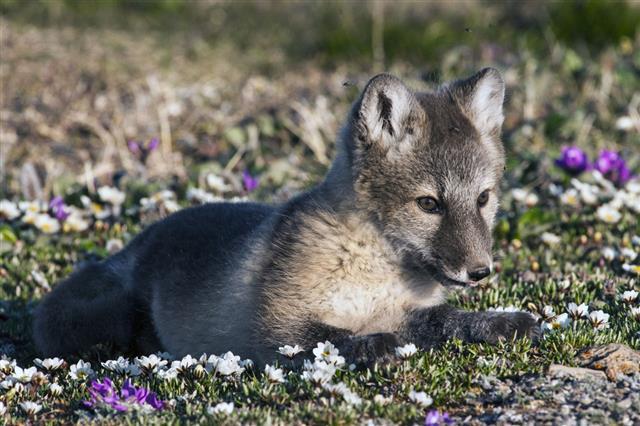 Arctic Fox Kit In Tundra Flowers