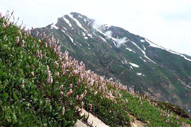 Alpine Meadow Flower