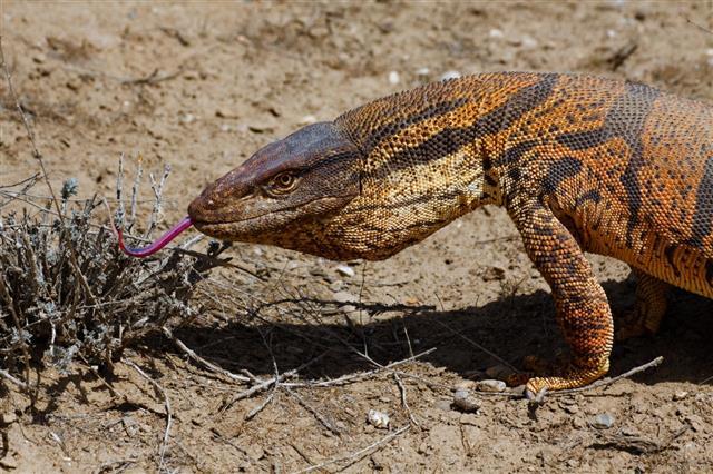 Lizard In Kyzyl Kum Desert Uzbekista