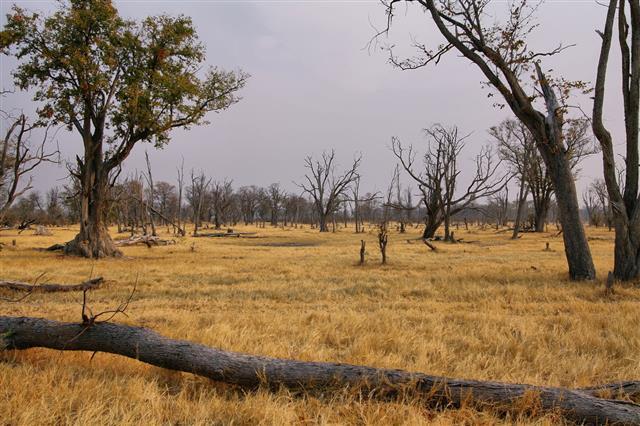 Dry Landscape In Moremi Game Reserve