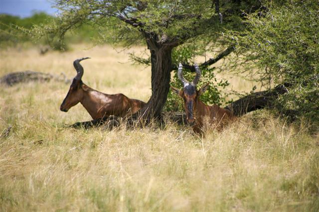 Greater Kudu Woodland Antelope In Etosha