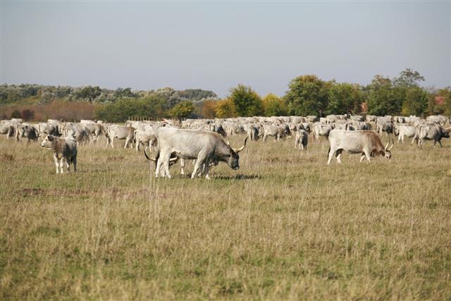 Cattle Grazing On Meadow
