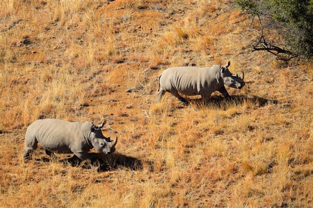 White Rhinoceros Pair