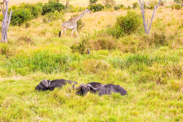 Buffalo Grazing In Water With Giraffe